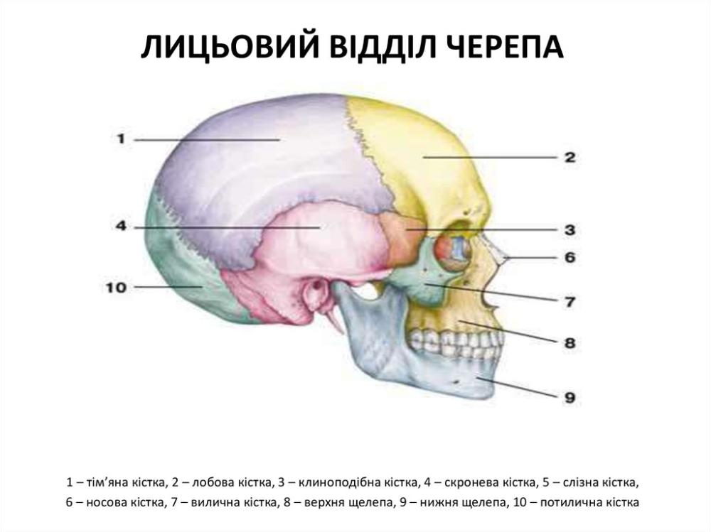 Будова лицьового відділу черепа