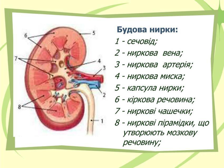 Будова нирки людини