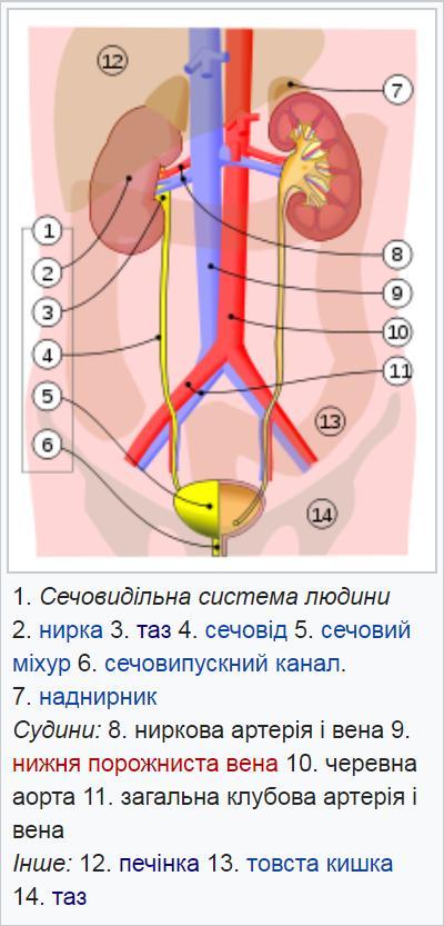 Будова сечовидільної системи людини