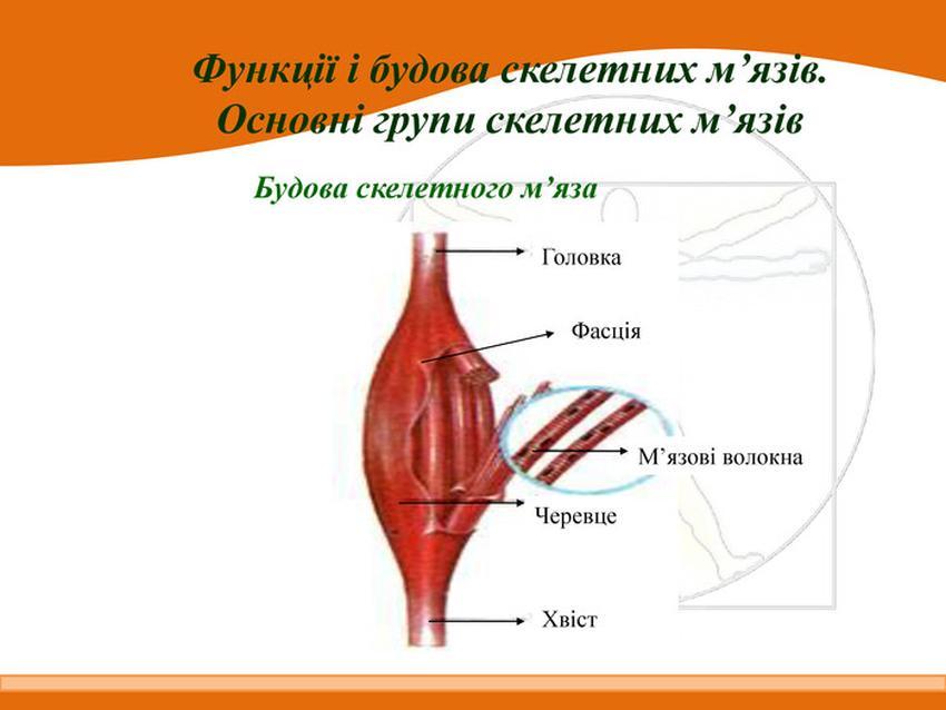 Будова скелетного м'яза