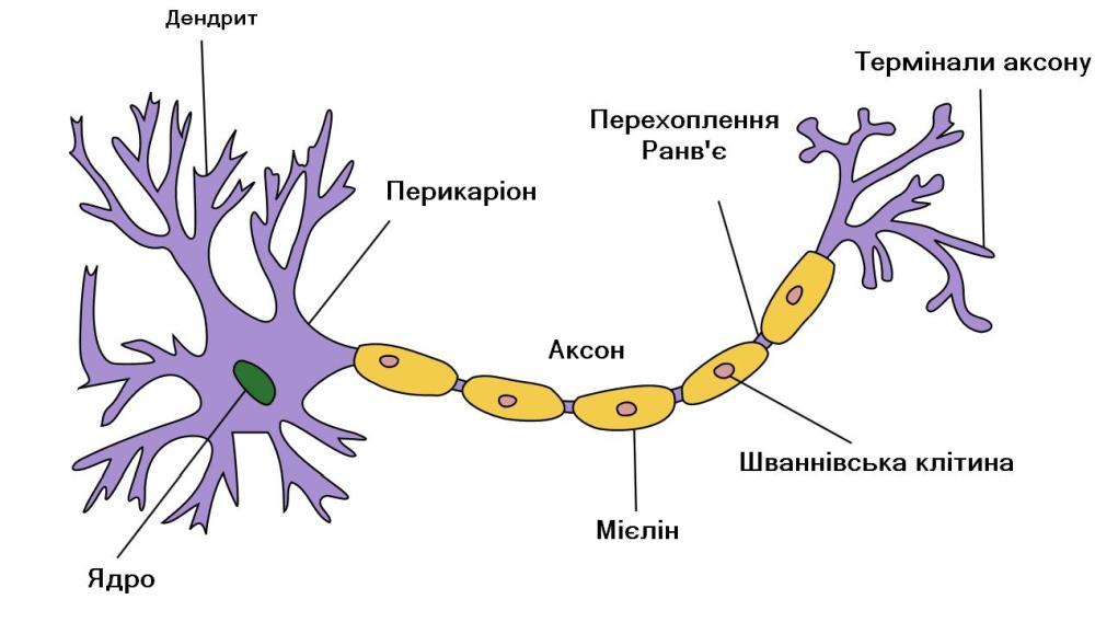 Будова типового нейрона