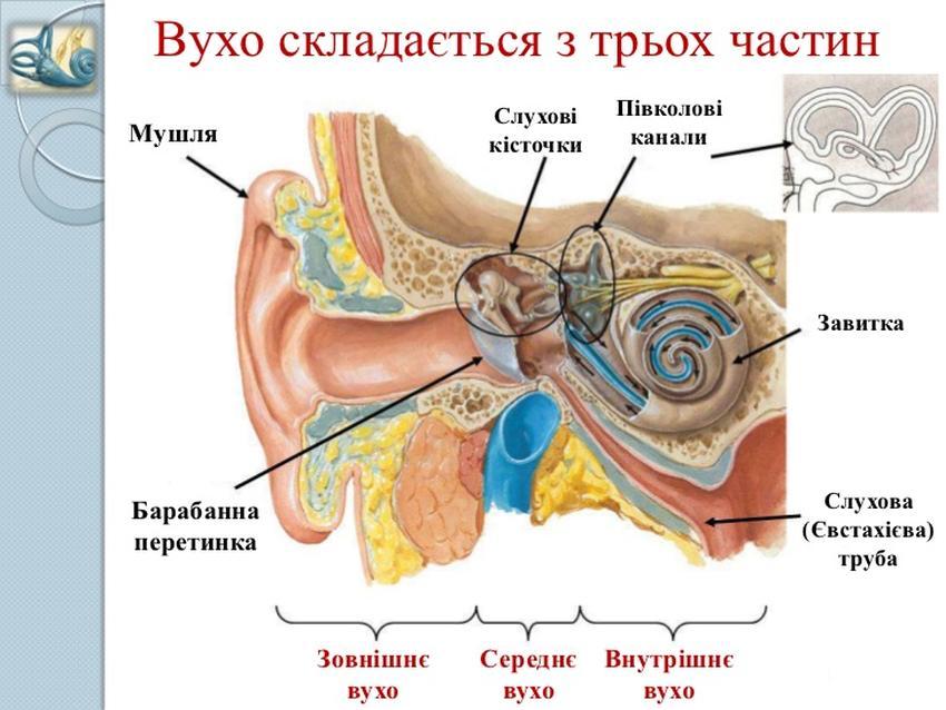 Частини вуха людини