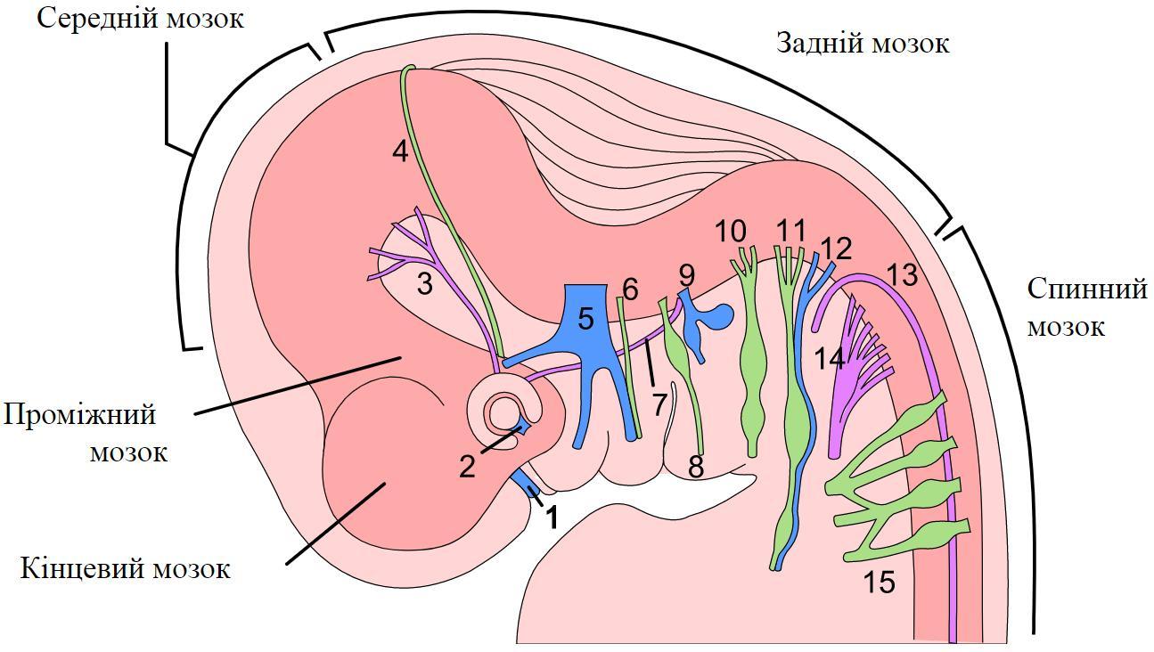 Черепні нерви шеститижневого людського ембріона