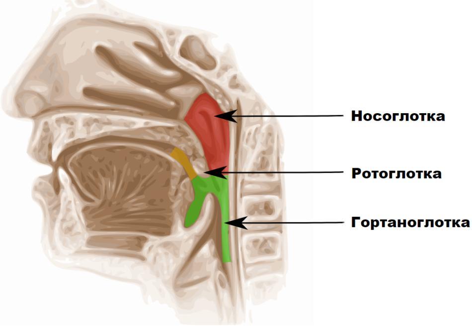 Ділення глотки на носоглотку, ротоглотку, гортаноглотку