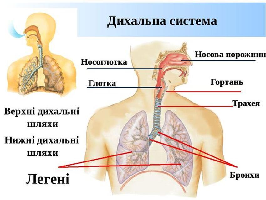 Дихальна система людини3