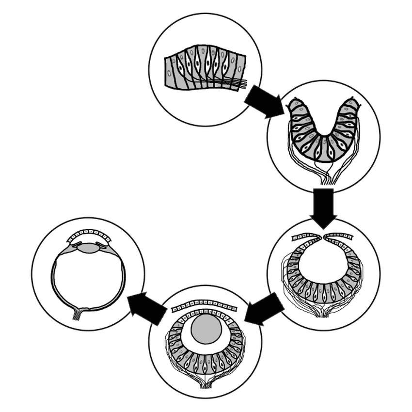 Фази еволюції та ембріогенез у зорового органу