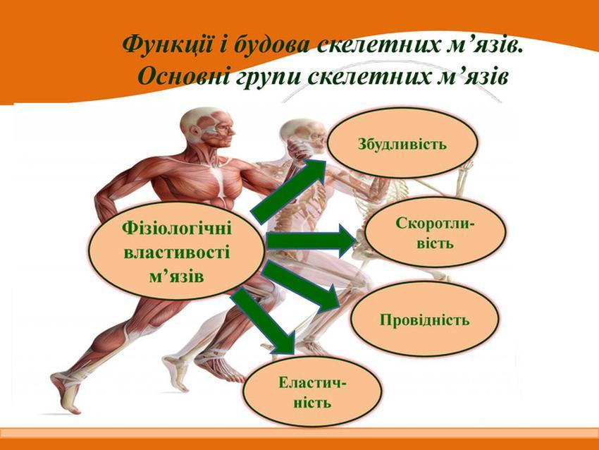 Фізіологічні властивості м'язів
