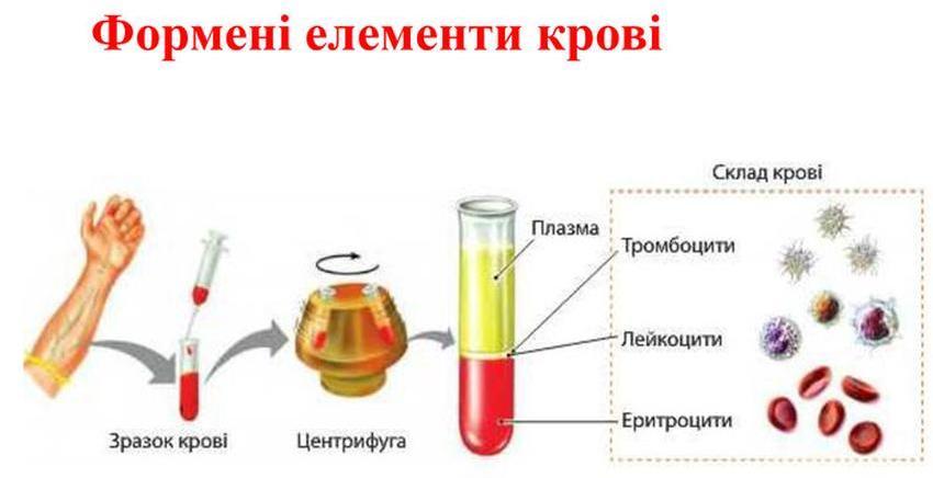 Формені елементи крові2