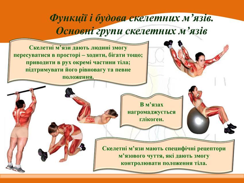 Функції і будова скелетних м'язів