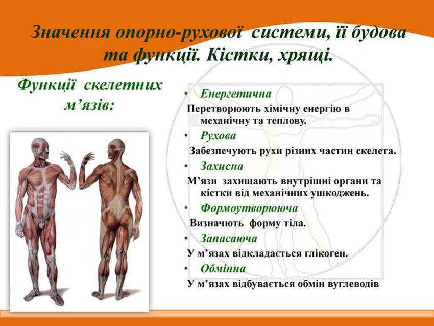 Функції скелетних м'язів