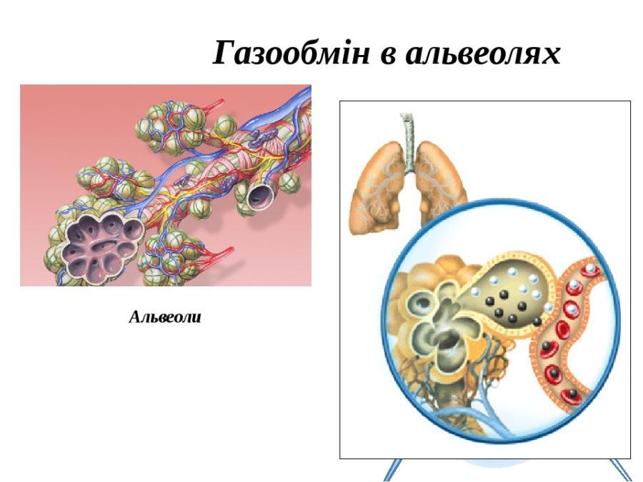 Газообмін в альвеолах