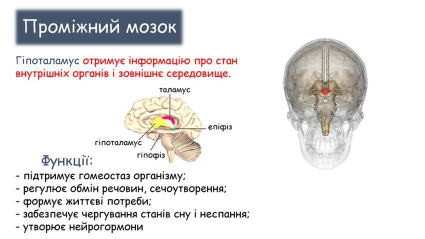 Гіпоталамус - функції
