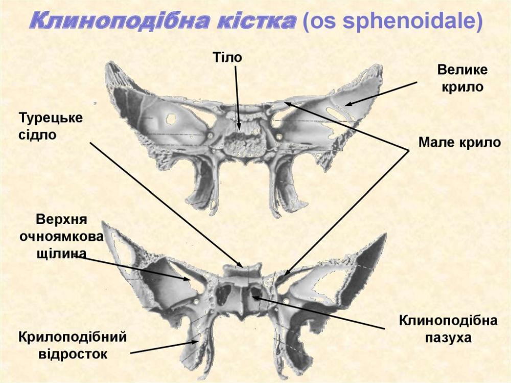 Клиноподібна кістка - будова