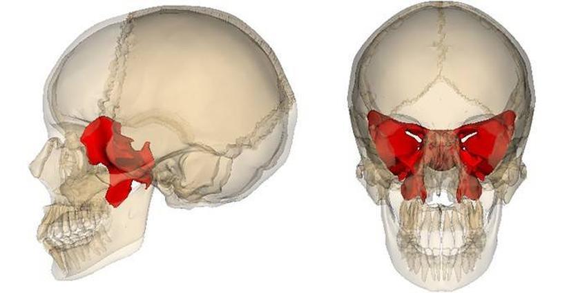 Клиноподібна кістка на черепі