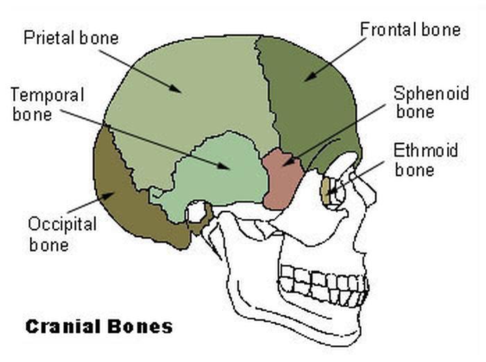 Клиноподібна кістка виділена червоним кольором