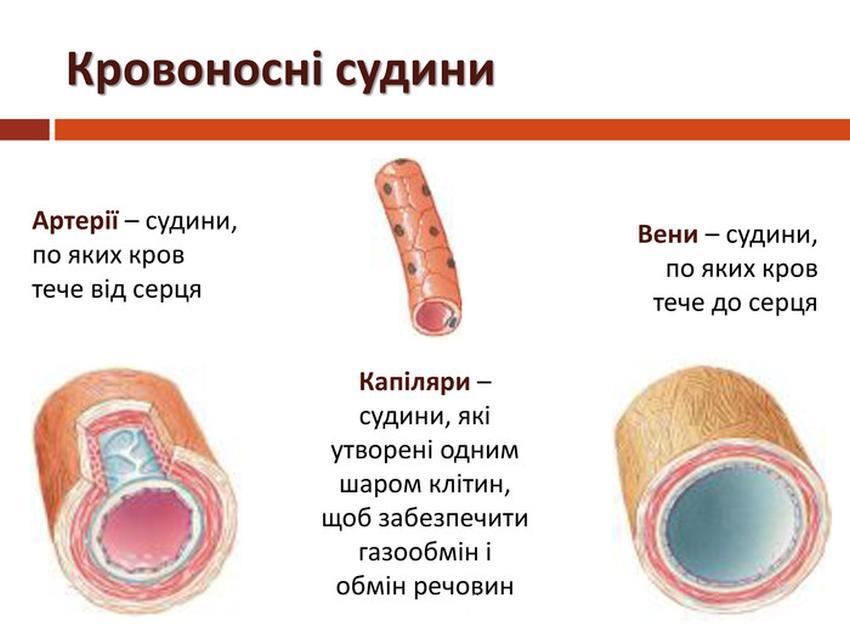 Кровоносні судини