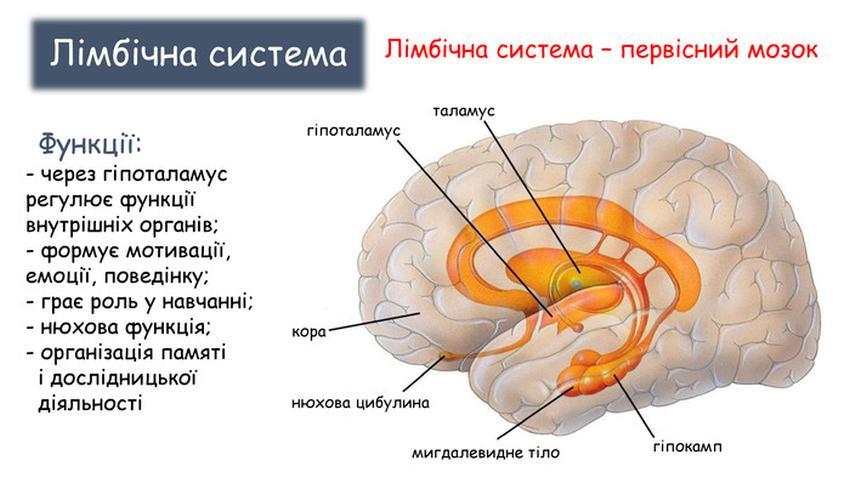 Лімбічна система мозку - опис і анатомія