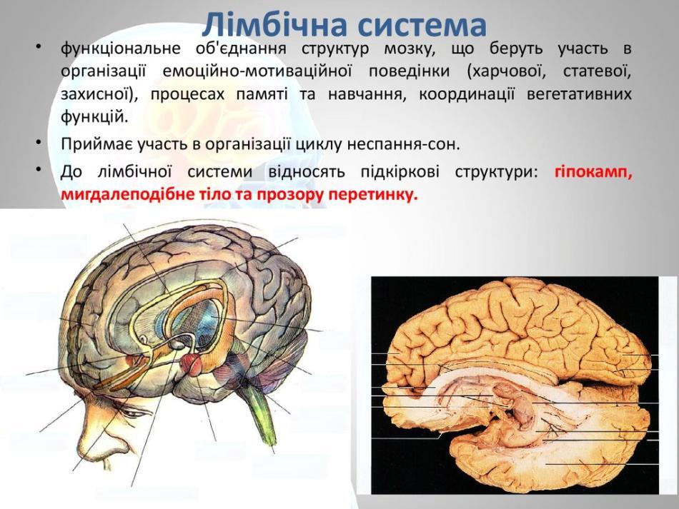 Лімбічна система мозку - призначення
