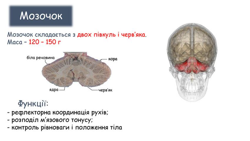 Мозочок - будова і функції