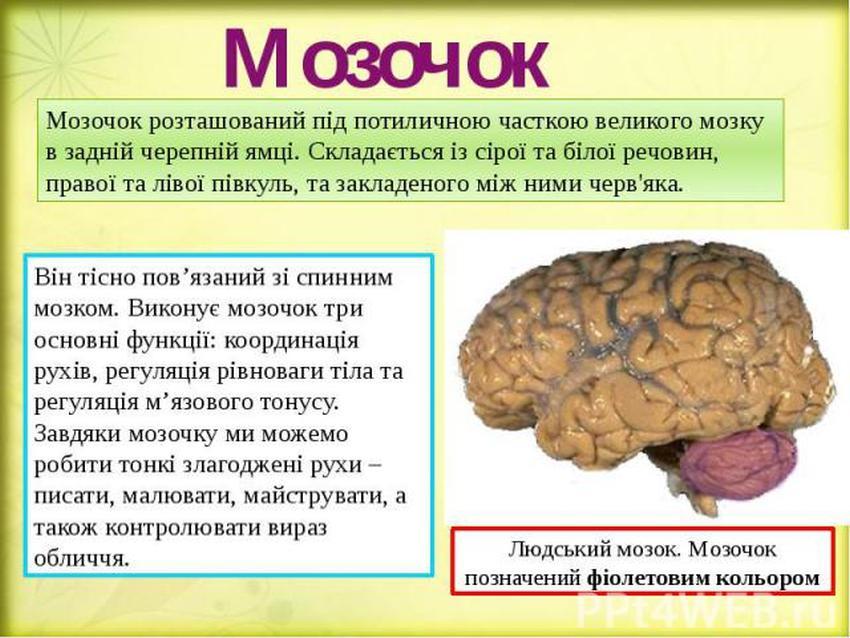 Мозочок - опис і місцезнаходження в мозку