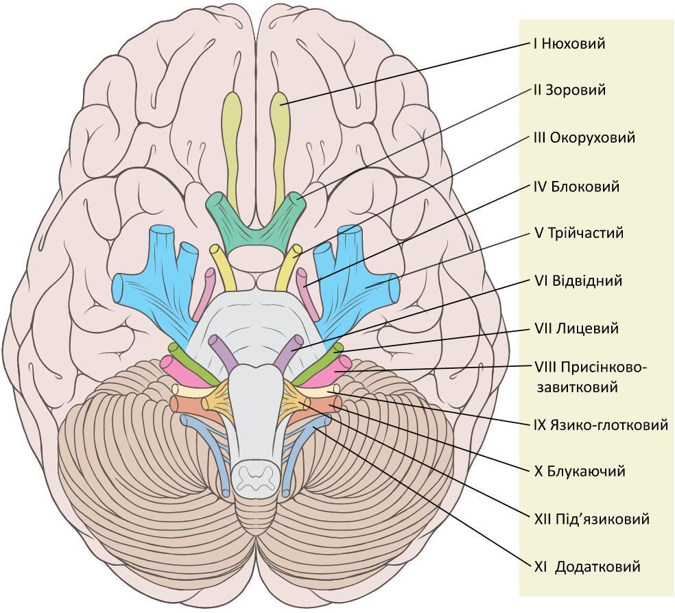 Мозок людини (вигляд знизу). Позначені черепні нерви