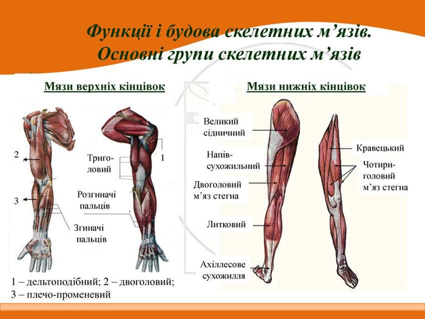 М'язи кінцівок