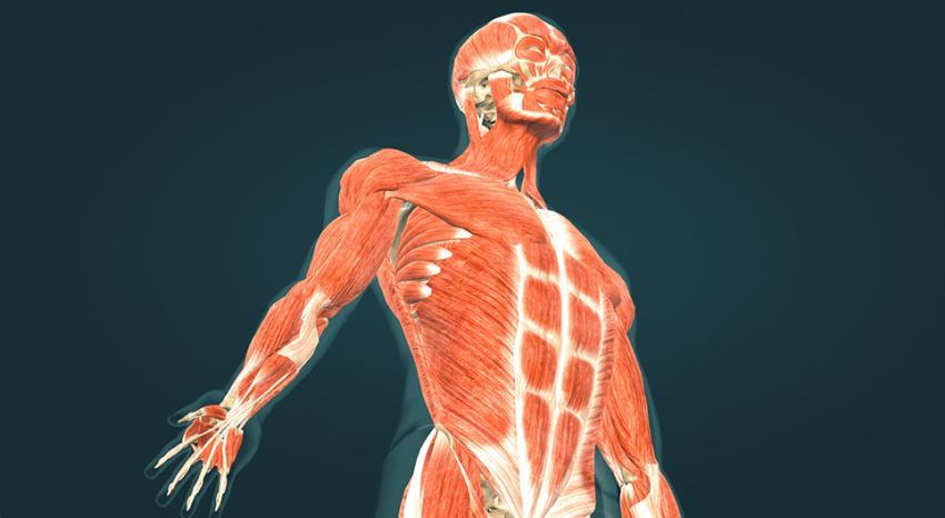М'язи людини