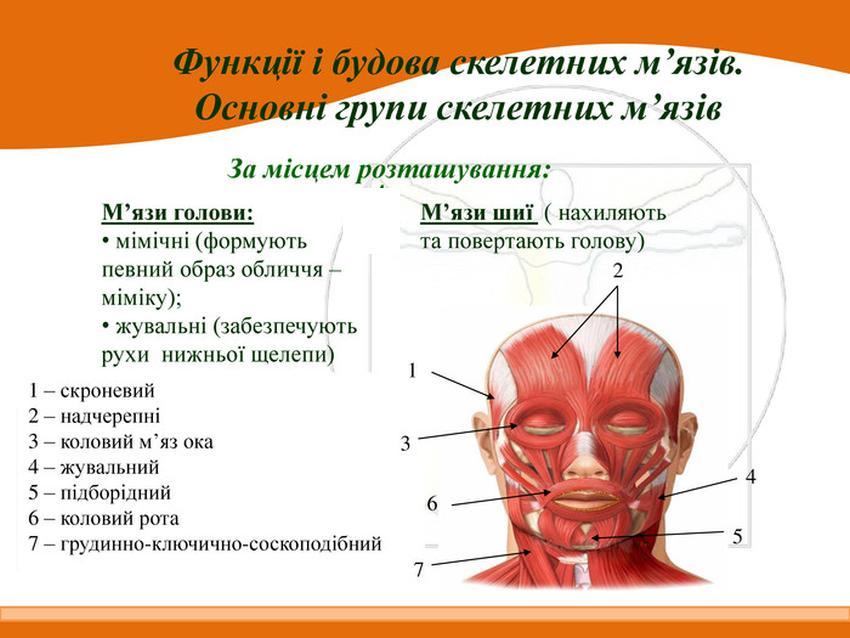 М'язи шиї та голови