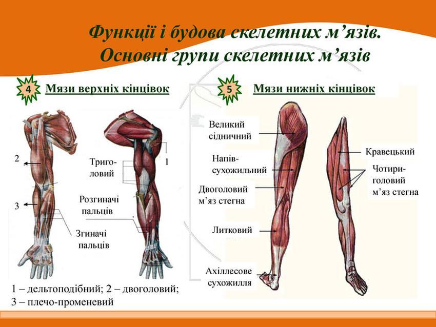 М'язи верхніх та нижніх кінцівок