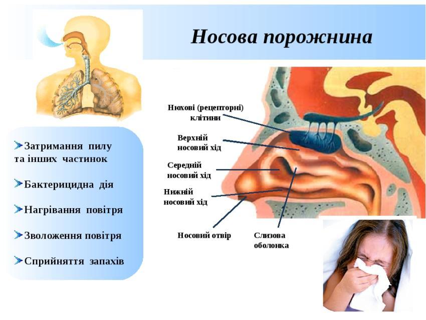 Носова порожнина - будова і функції