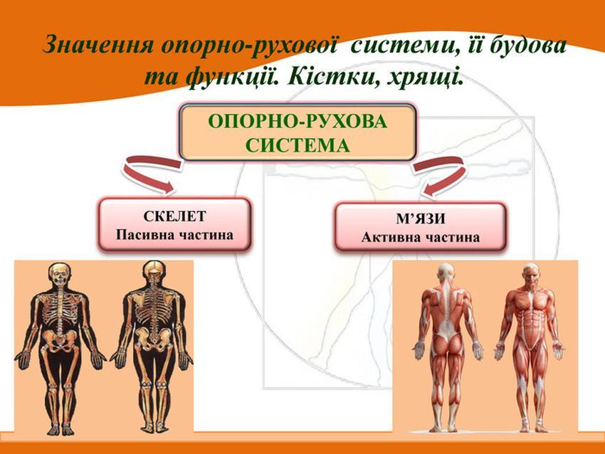 Опорно-рухова система ділиться на