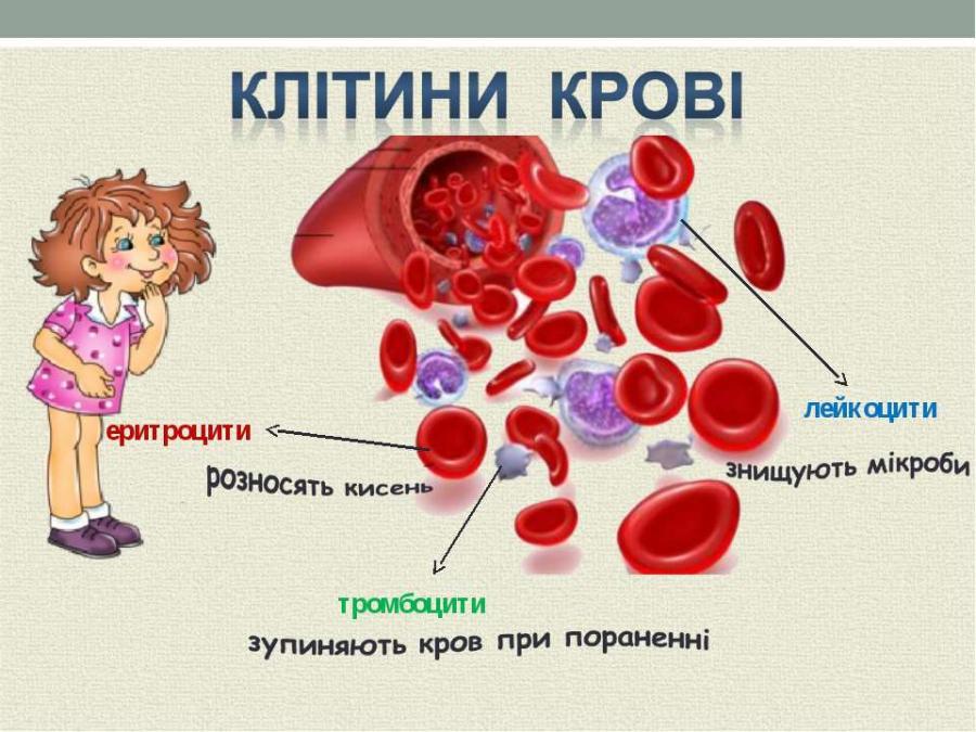 Основні клітини крові