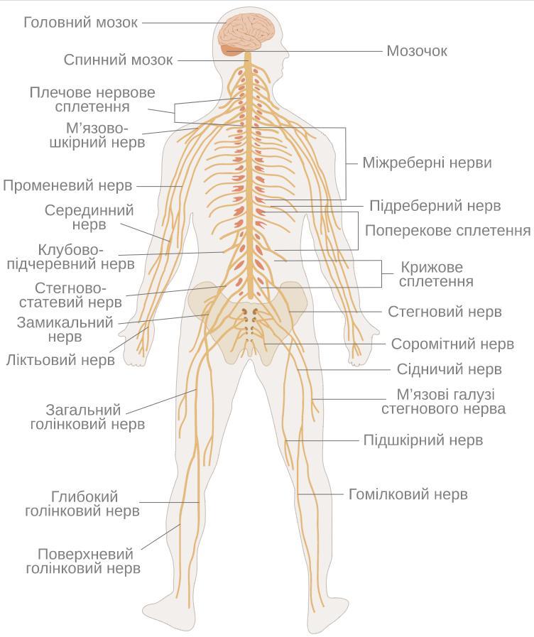 Повна схема нервової системи людини