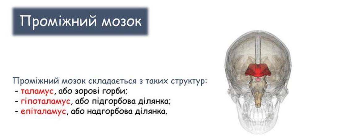 Проміжний мозок