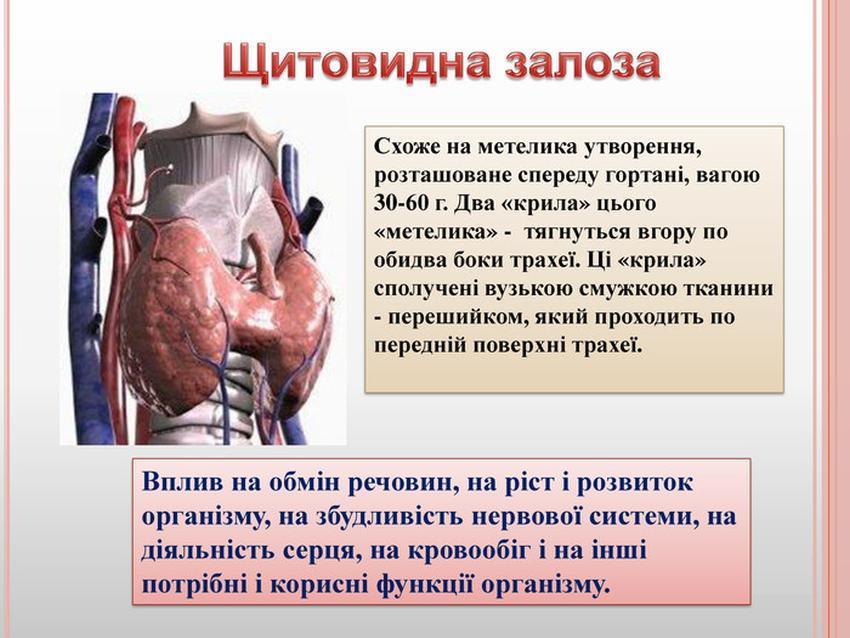 Щитоподібна залоза - будова і функції