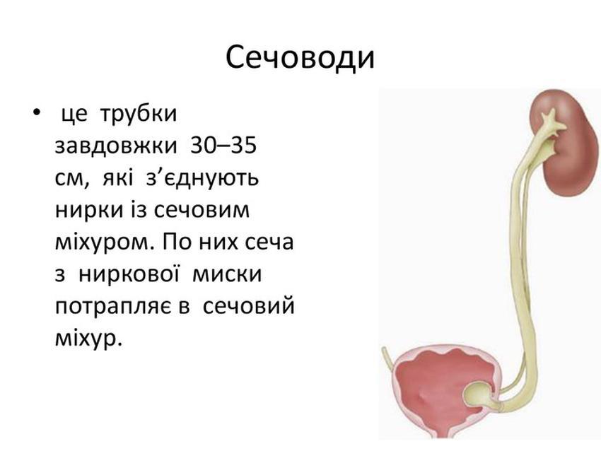 Сечоводи