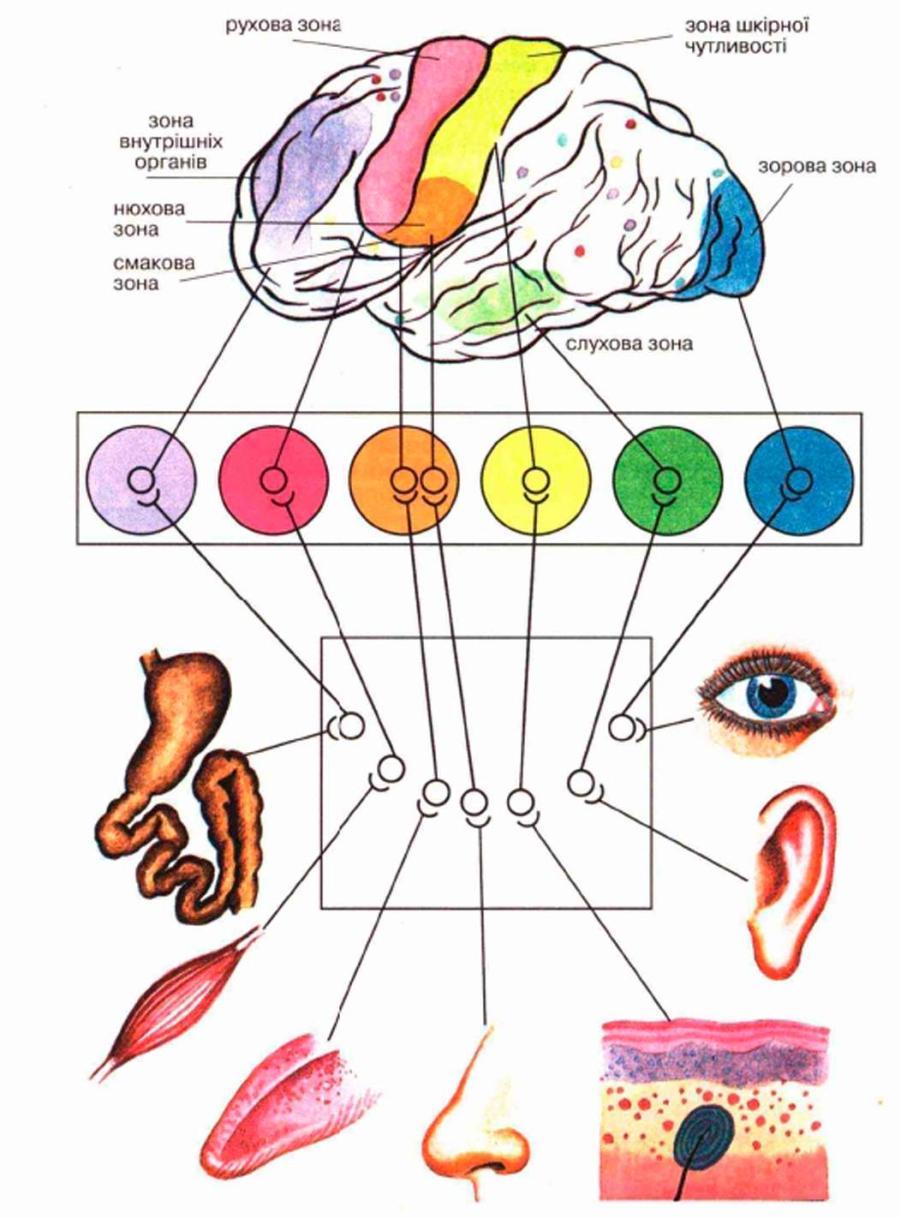 Сенсорні системи людини - таблиця