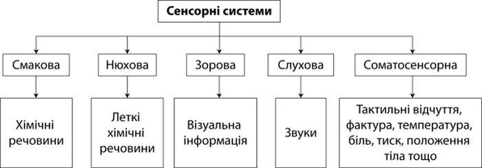 Сенсорні системи людини - види систем та їх опис