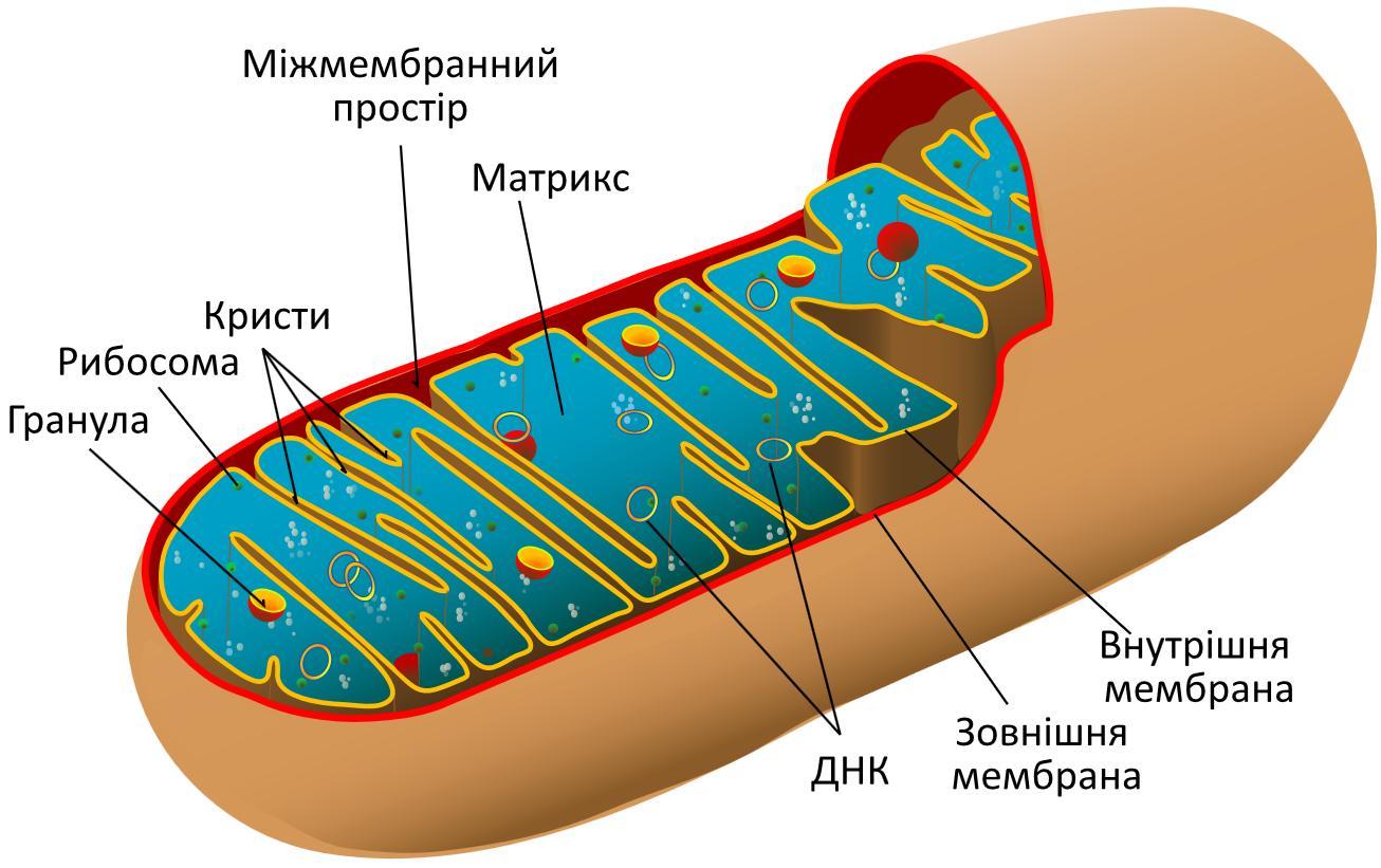 Схема будови мітохондрії