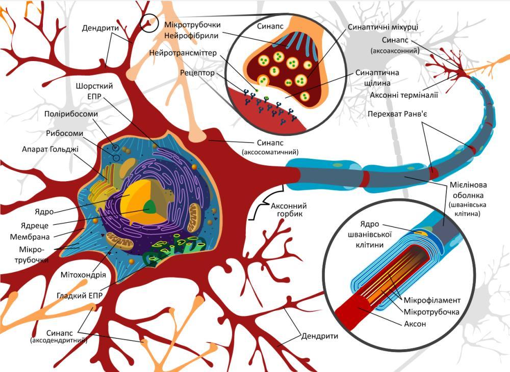 Схема будови нейрона