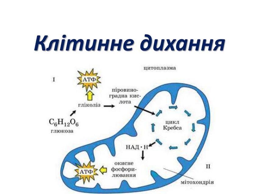 Схема клітинного дихання