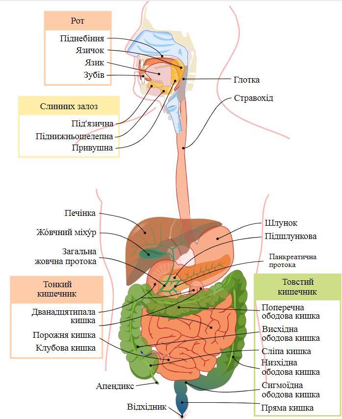 Схема травної системи людини