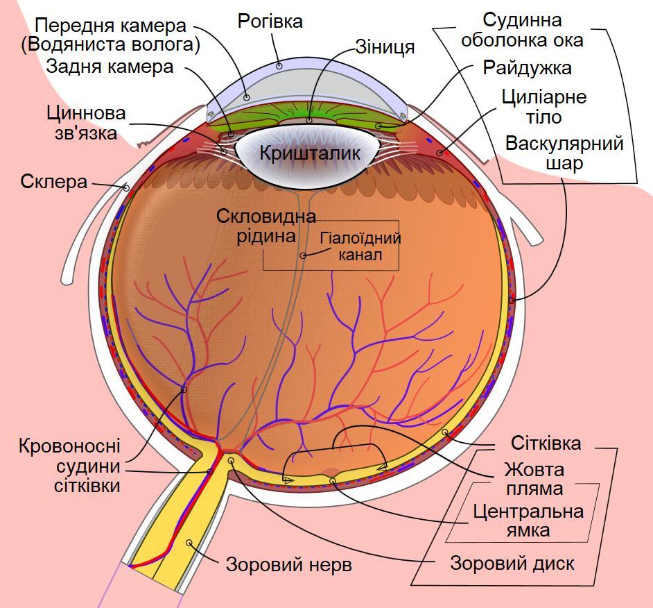 Схематична будова ока людини