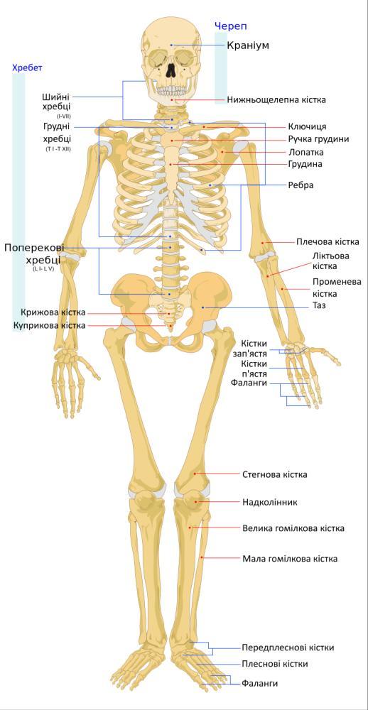 Схематичне зображення скелета людини