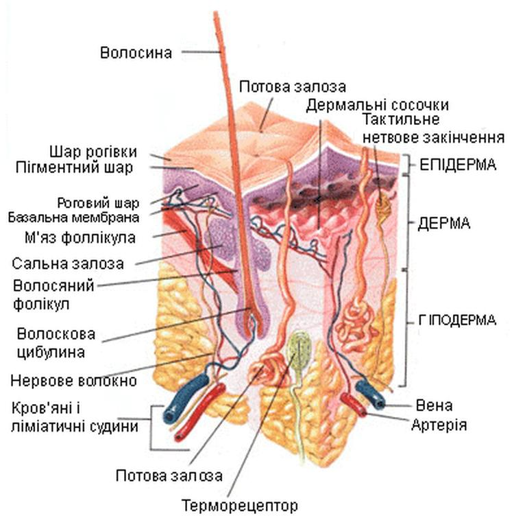 Схематичний розріз шкіри