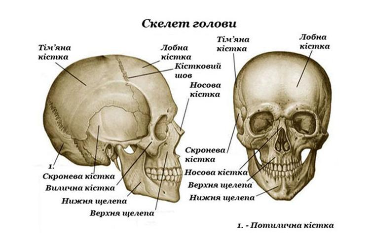 Скелет голови людини