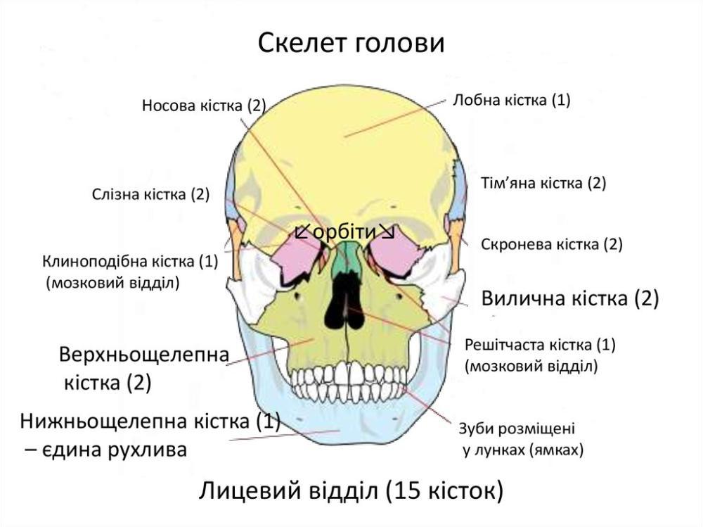 Скелет голови - вид спереду