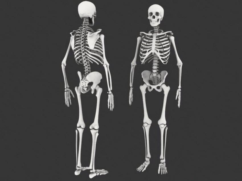 Скелет людини - приклад