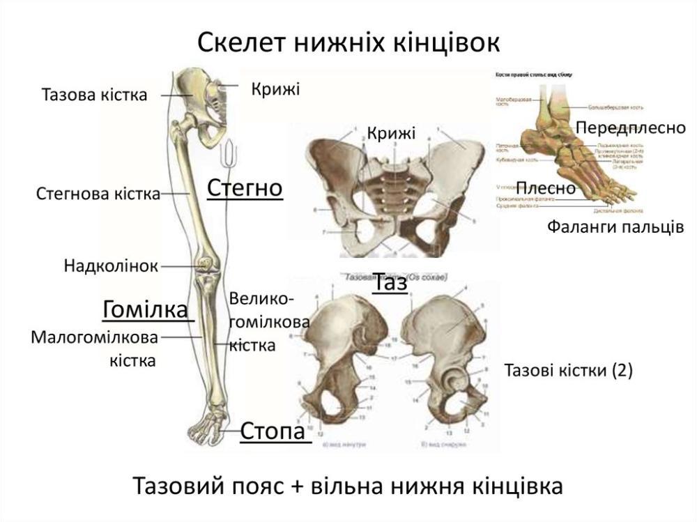 Скелет нижніх кінцівок людини