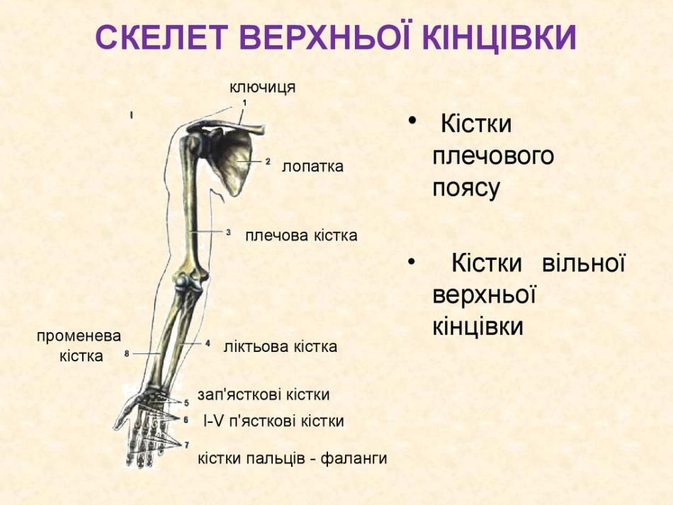 Скелет верхньої кінцівки людини